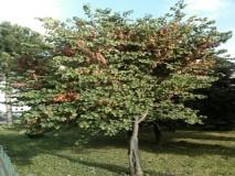JUDINO DRVO,visine 4m ,snimljeno 20.kolovoza,vide se plodovi mahune sa sjemenkama