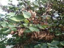 JUDINO DRVO grane i plodovi