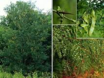 TRNOVAC DRVO-GLEDIČIJA Drvo, plodovi,lišće