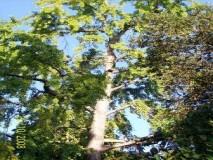 GINKO BILOBA stablo u punom rastu-OPATIJA botanički park
