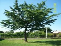 GINKO BILOBA mlado stablo u punom rastu