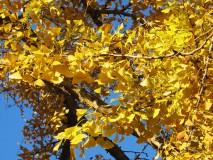 GINKO BILOBA stablo u kasnu jesen