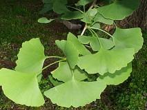 GINKO BILOBA lišće u punom rastu